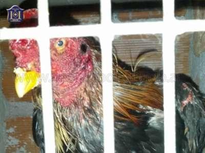 Demoraron a 24 personas por participar en apuestas de riña de gallos.