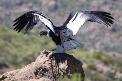 El MAAM inaugura una muestra especial sobre la Conservación del Cóndor Andino